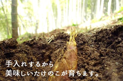 竹林に生えているたけのこ