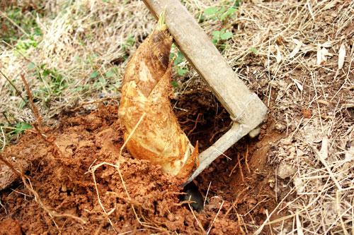 赤土からたけのこを掘り出す瞬間